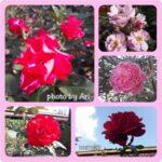 Bunga Mawar di Lembang